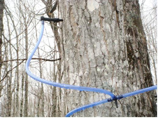 樹液の採取